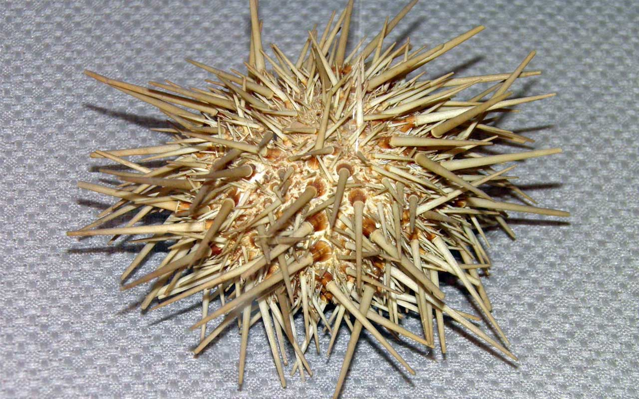 sea urchin, fish, mammal, animal