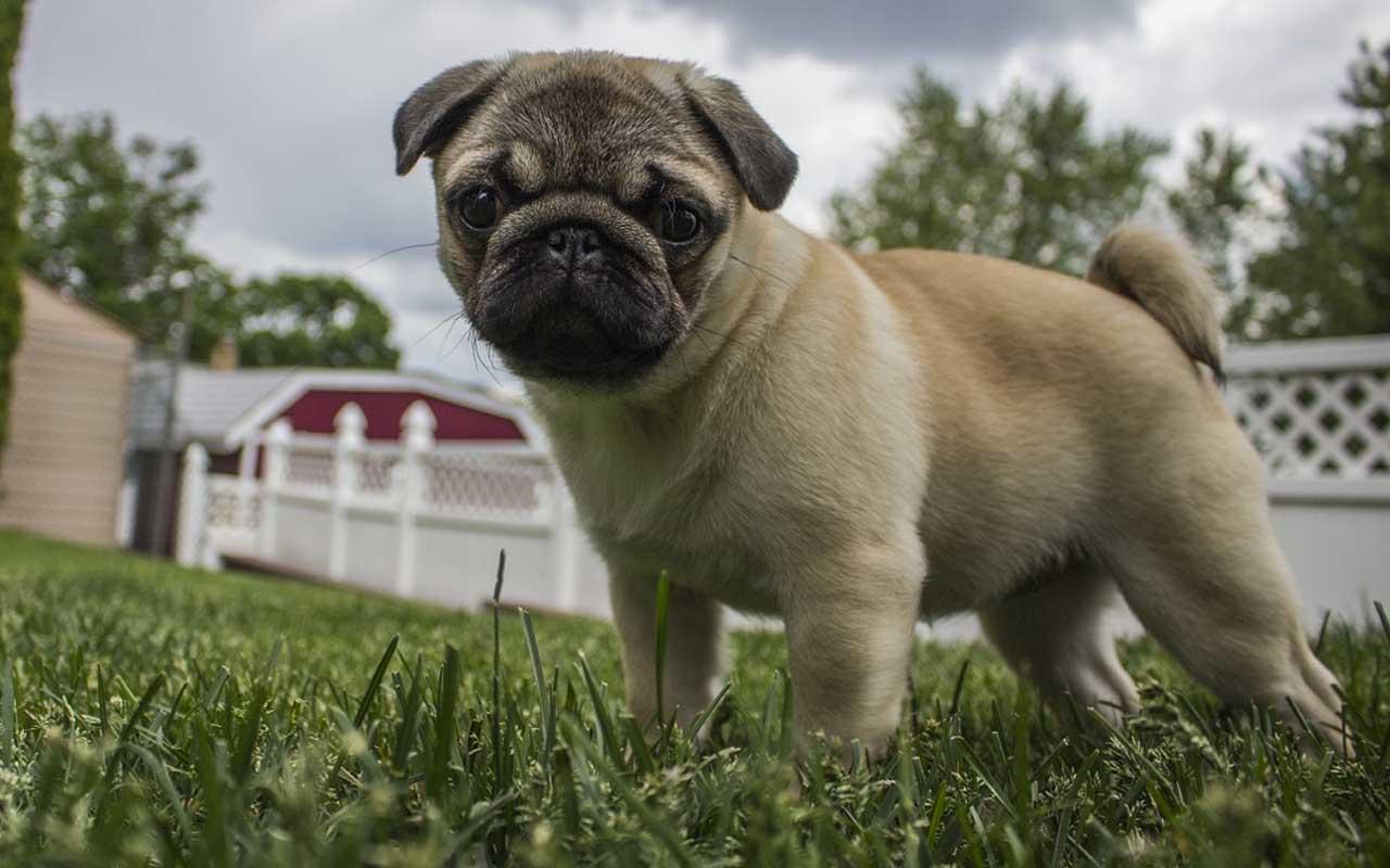 Pug, dog, facts, life