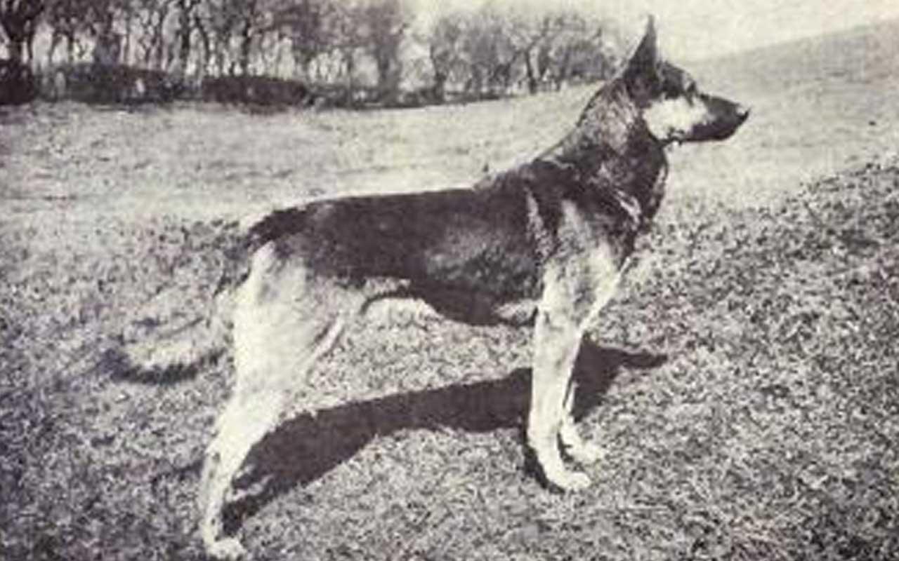 German Shepherd, dog, facts, life