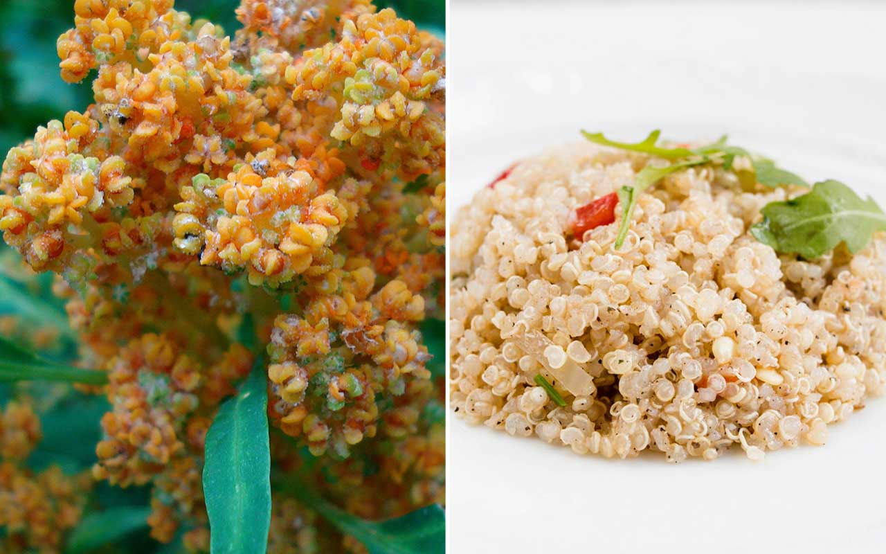 Quinoa, seeds, plant, food, facts