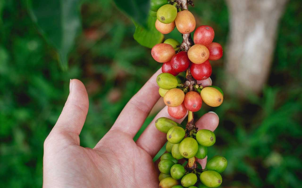 coffee, beans, plant, berries