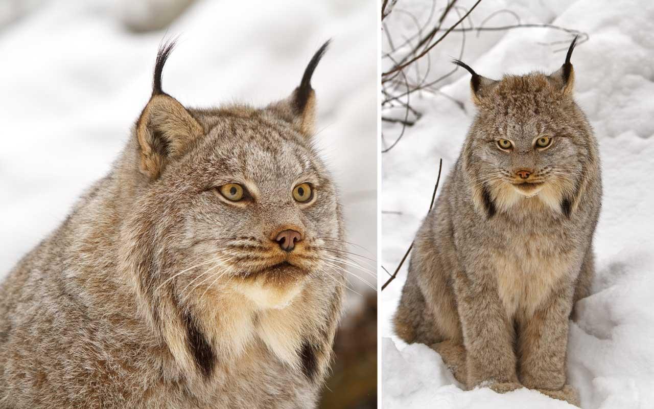 Canadian Lynx (Lynx Canadensis), feline, cat