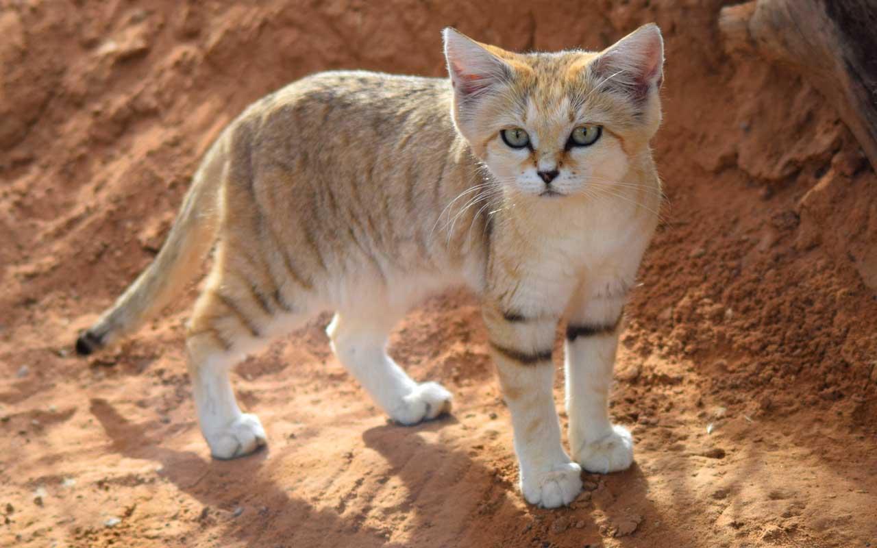 Sand cat, feline, facts, nature