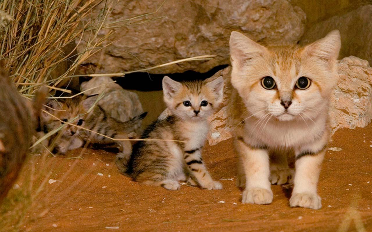 Feline, Sand cat, life, facts