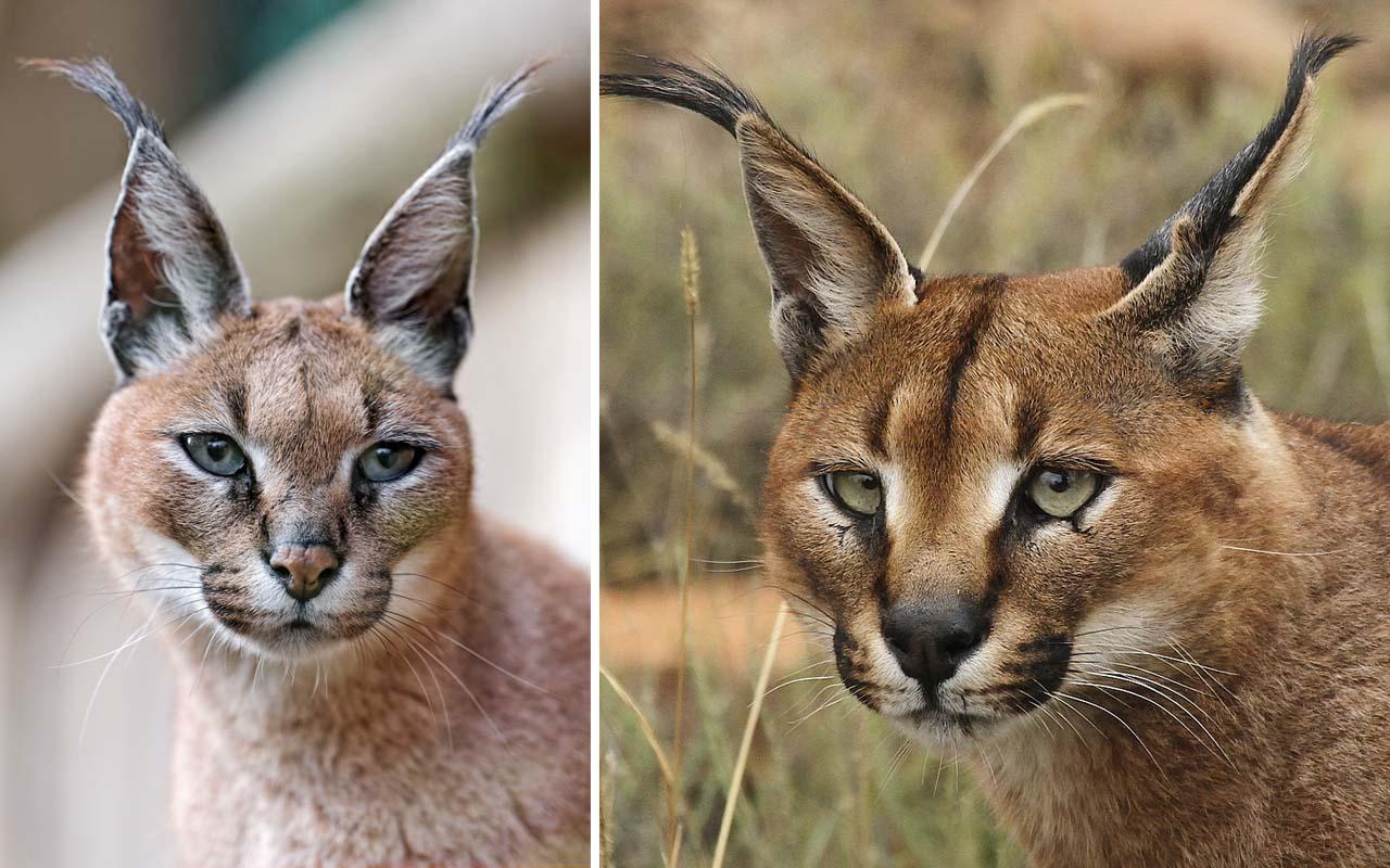 Caracal (Caracal Caracal), kitten, cat