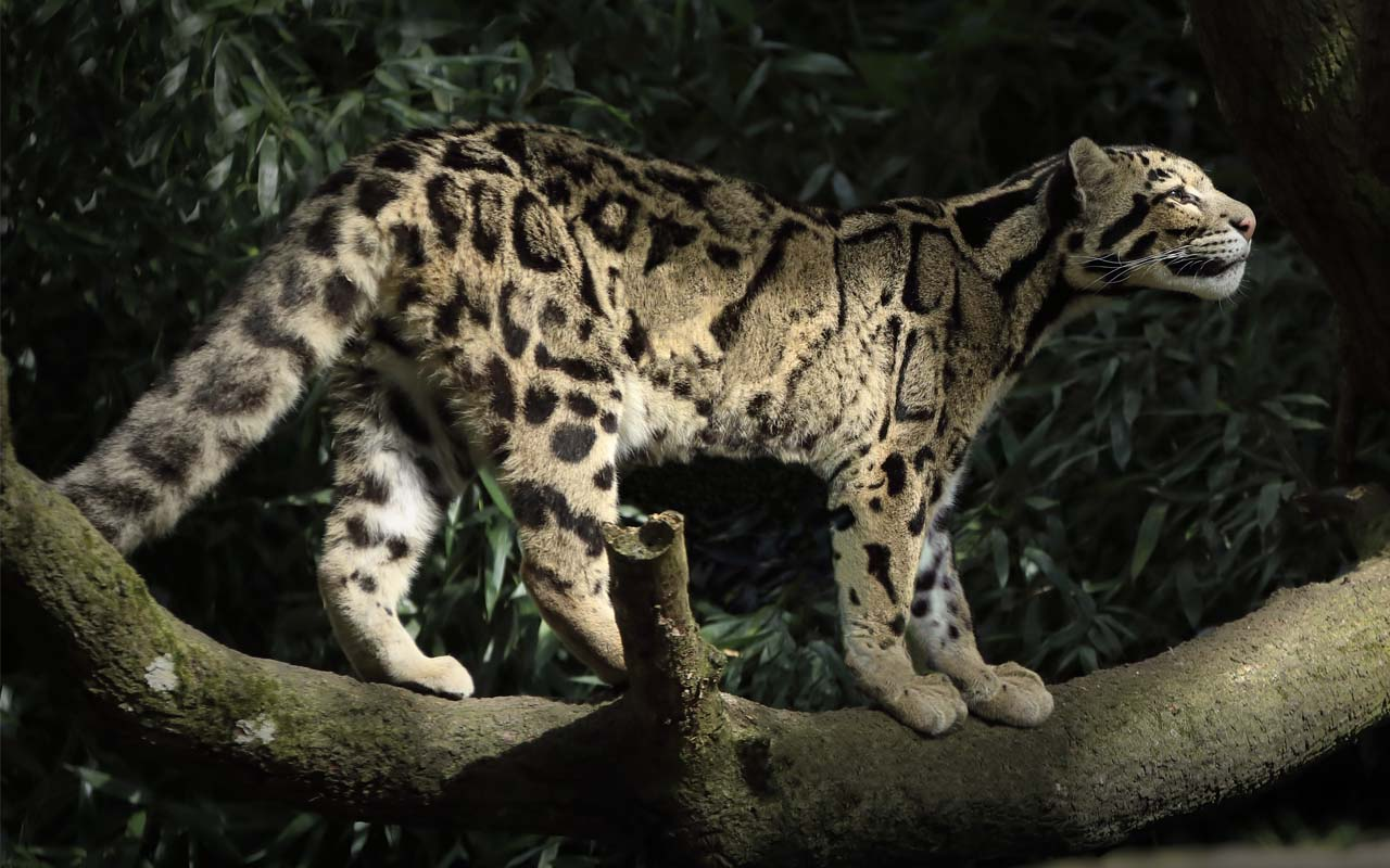 Clouded Leopard (Neofelis Nebulosa), cat, feline