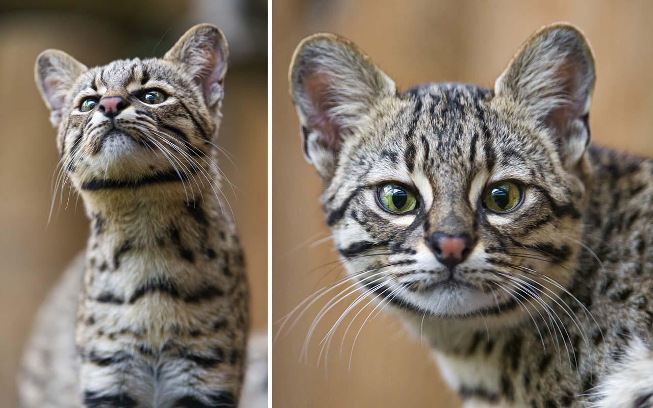 Geoffroy's Cat(Leopardus geoffroyi), feline