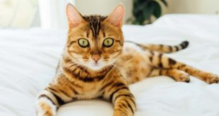 Bengal cat, kitten, feline, facts