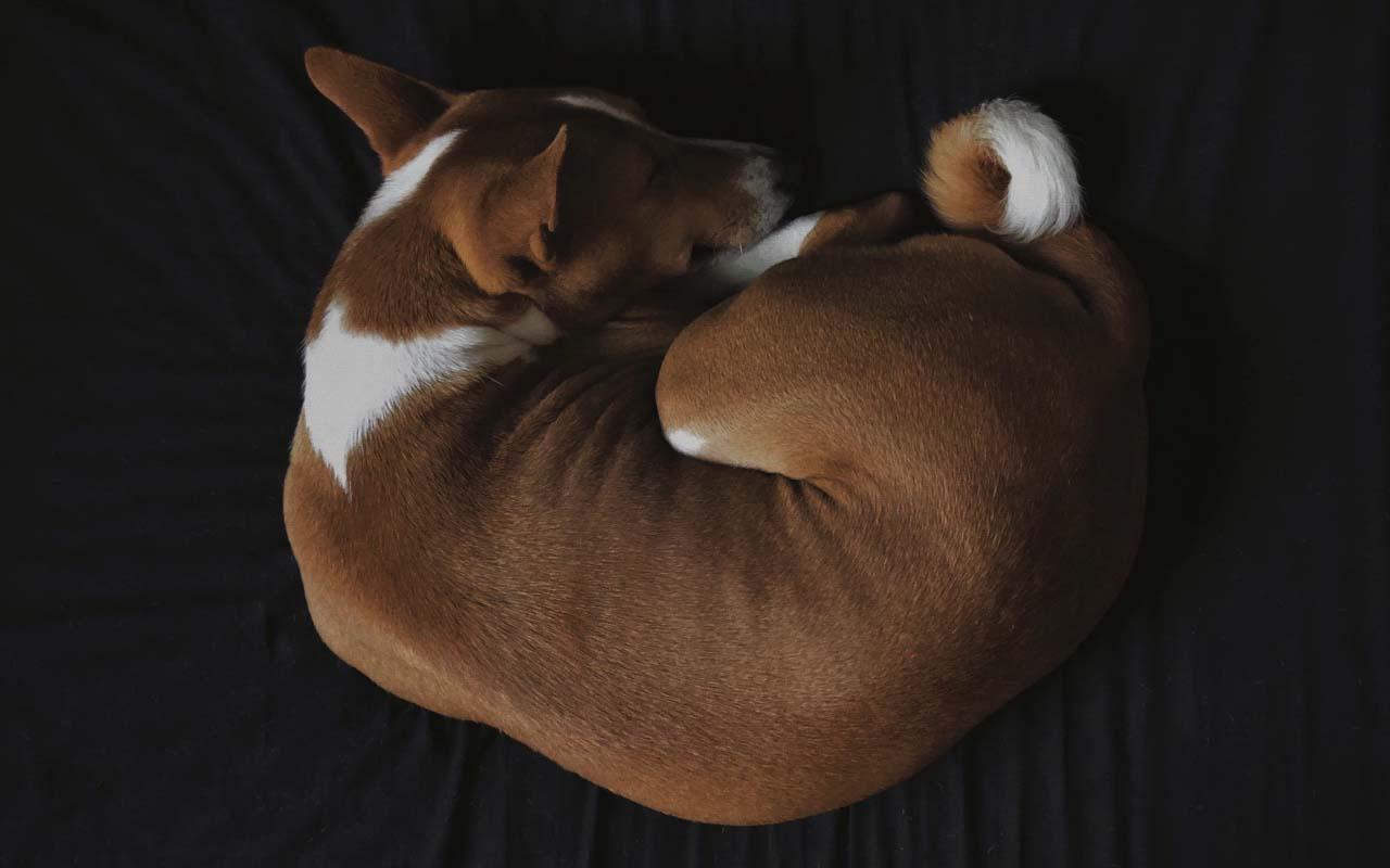 dog, sleeping, facts, animal