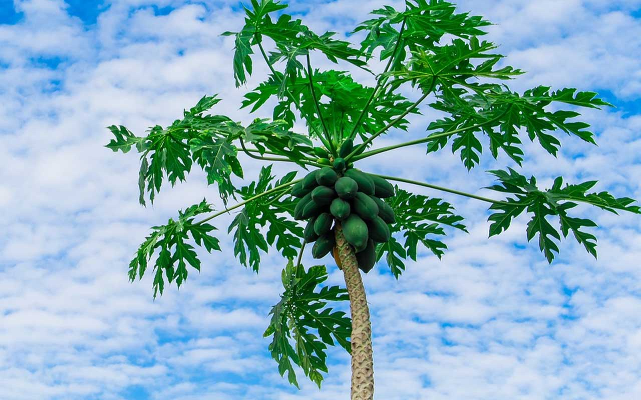 papaya, tree, plant, grown