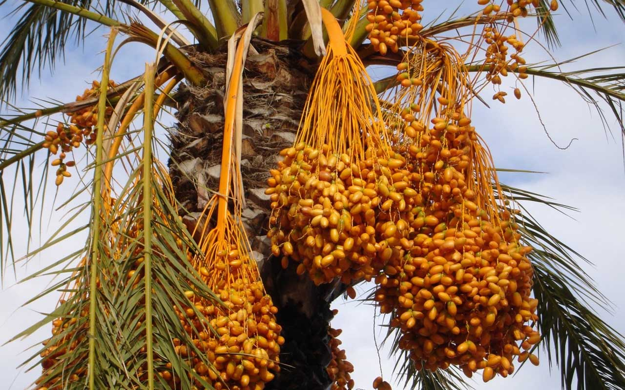 palm trees, dates, fruits