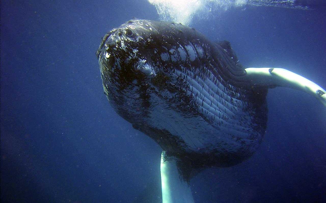 humpback whale, ocean, sea, life