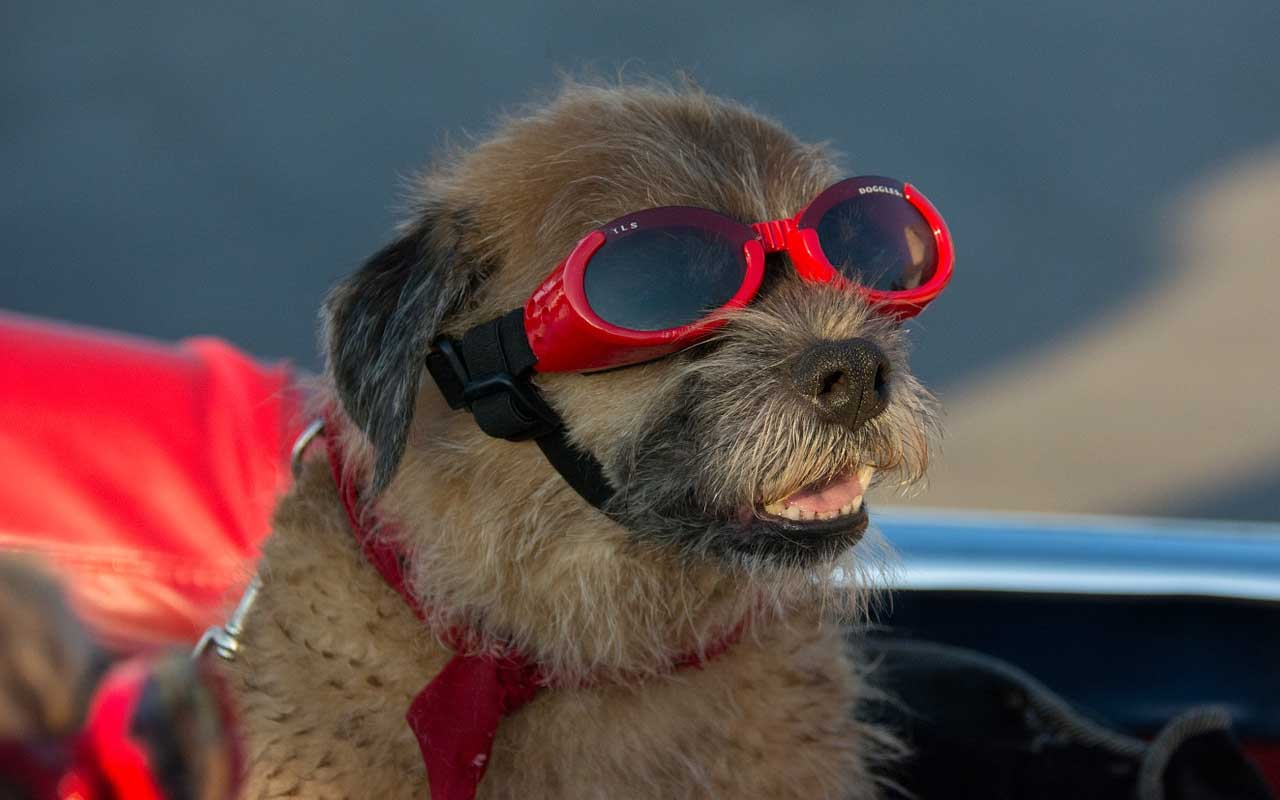 Doggles, goggles, dogs