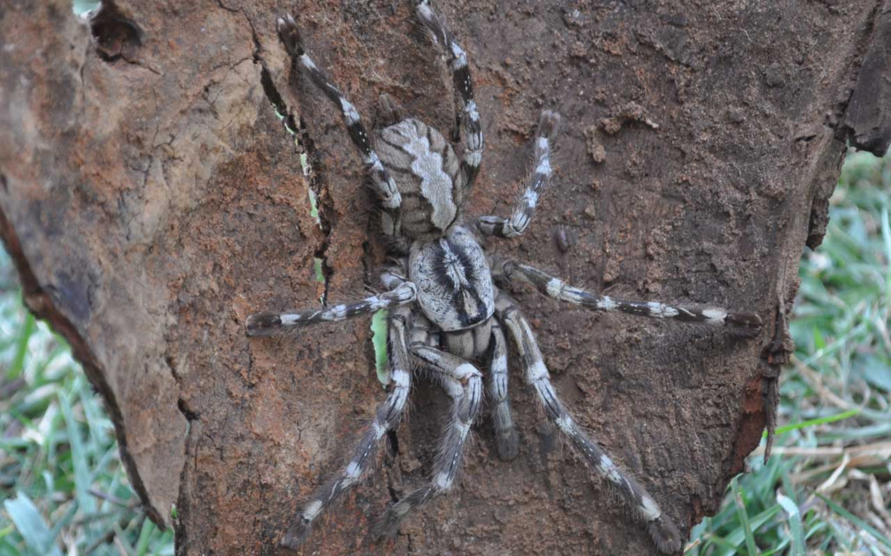Face-Sized Tarantula, rainforest, Brazil