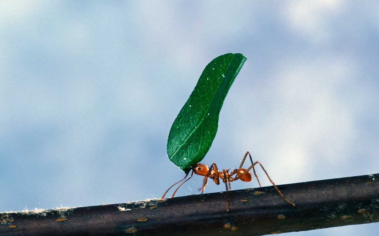 ant, leaf, people, nature