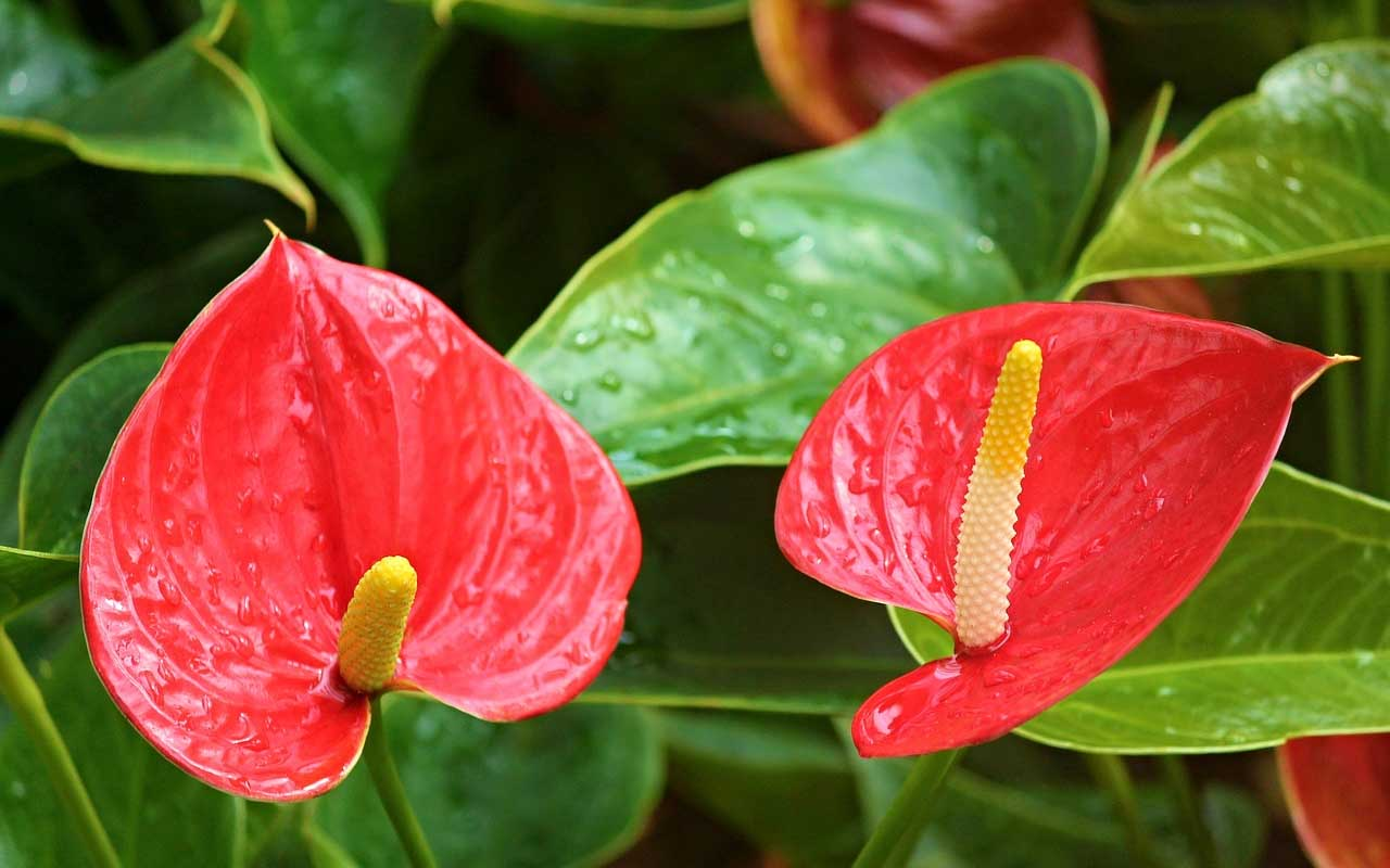 Anthurium, plant, flower, facts