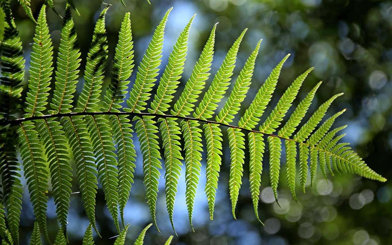 Boston Fern, plant, life, nature