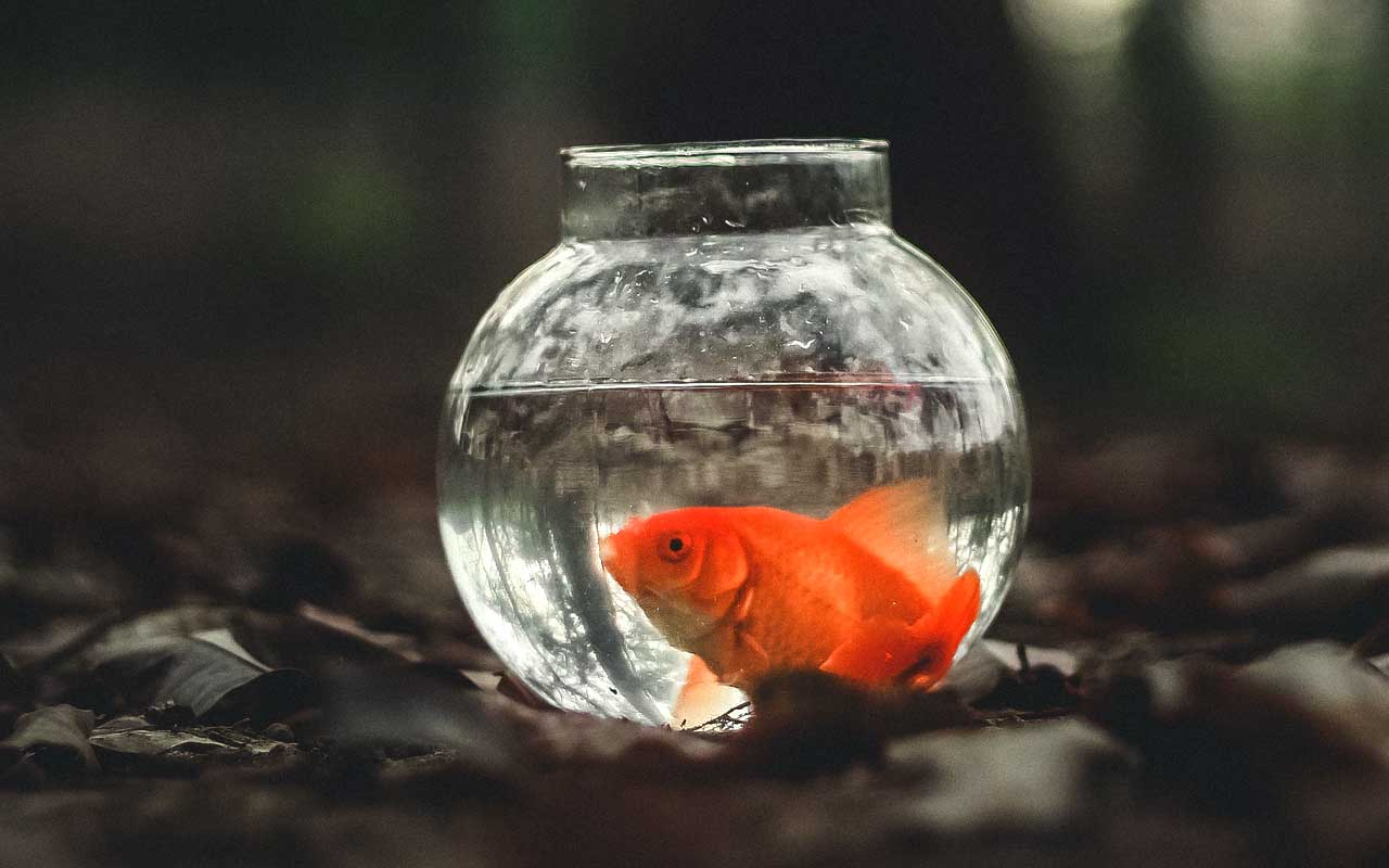 goldfish, food, facts, knowledge, life, science
