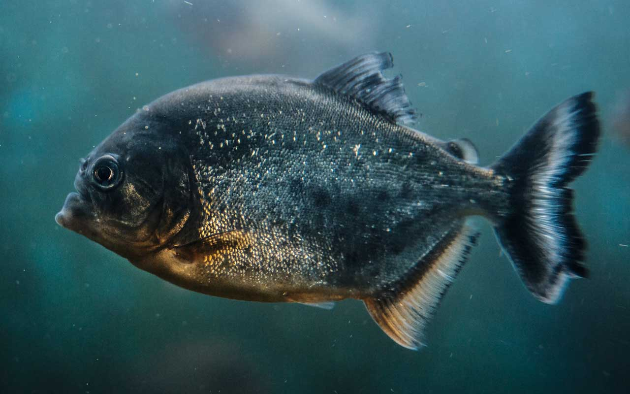 piranha, fish, movies, life, facts, people