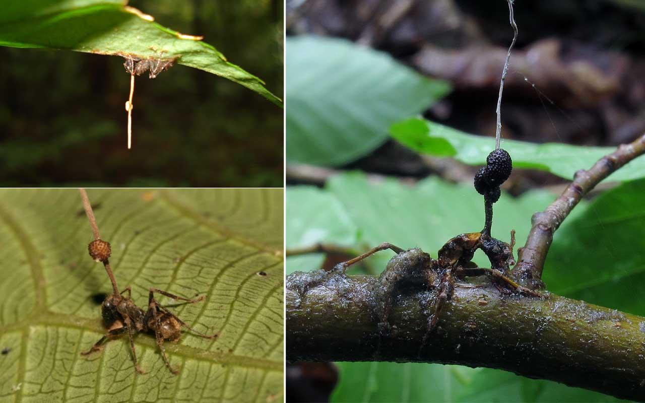 Zombie ant fungus, Ophiocordyceps unilateralis, parasites, life, ants
