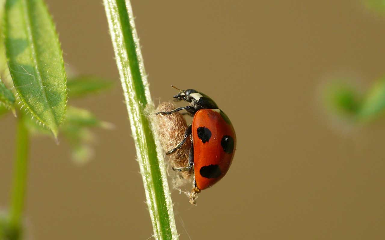 Ladybird parasite, Dinocampus coccinellae, animals, nature, parasites, facts, life