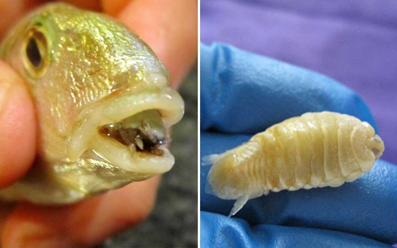 Cymothoa exigua, fish, aqua, nature, sea, parasites