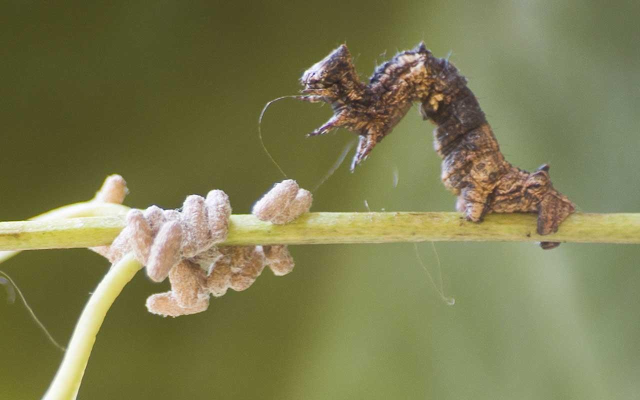 Glyptapanteles, parasites, life, nature, facts