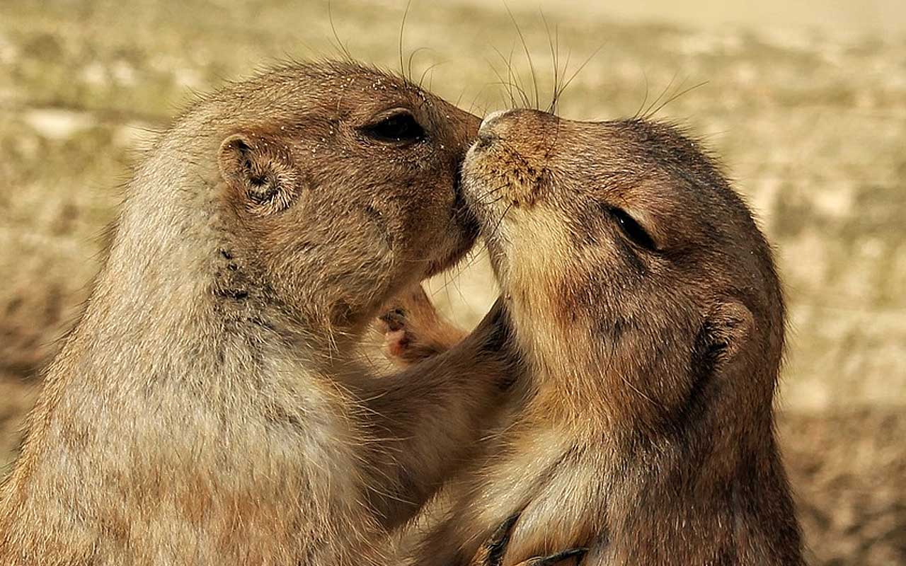 prairie dogs, facts, animals, cool facts, life, nature