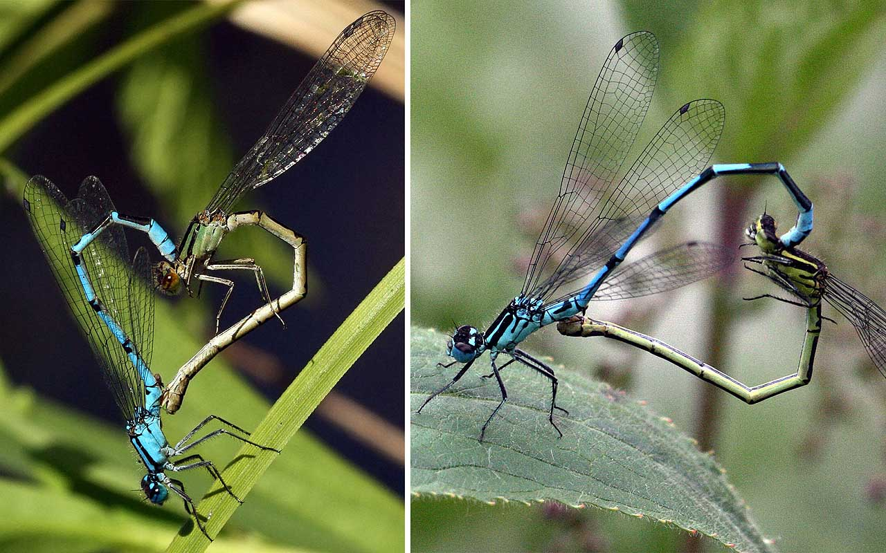 damselflies, dragonfly, life, nature, mating, heart, facts, science