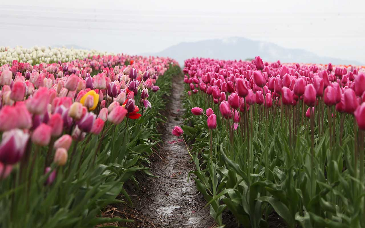 tulips, festival, Canada, the Netherlands, WWII, facts, life, people, countries, uplifting