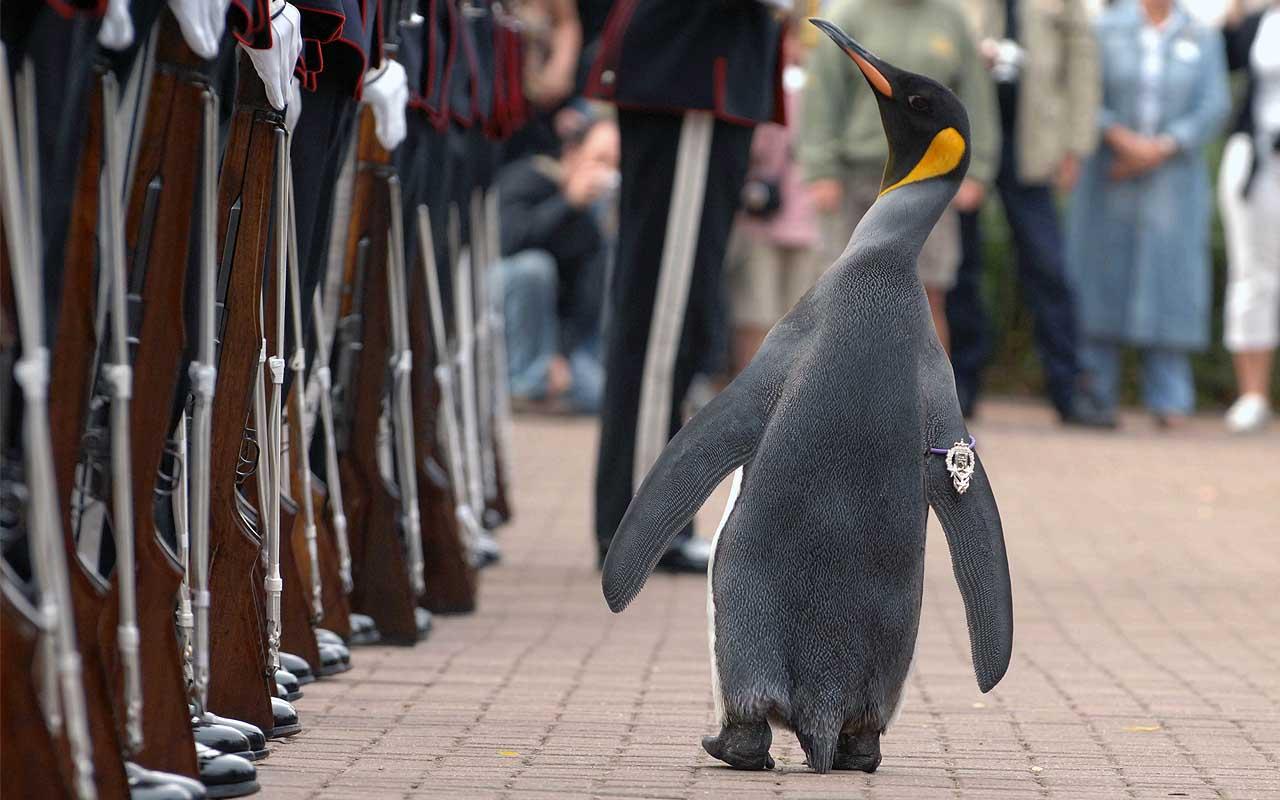 Sir Nils Olav, penguin, life, facts, animal, uplifting