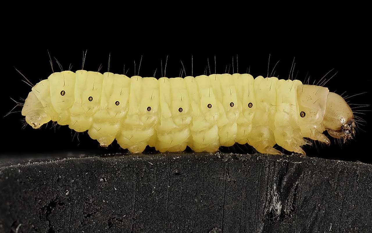 waxworms, nature, plastic, facts, animals, worms, science