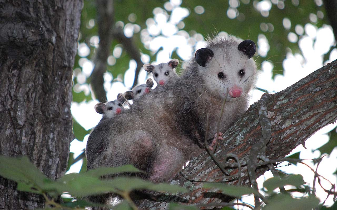 Opossum, life, animal, facts, wild, abilities, nature