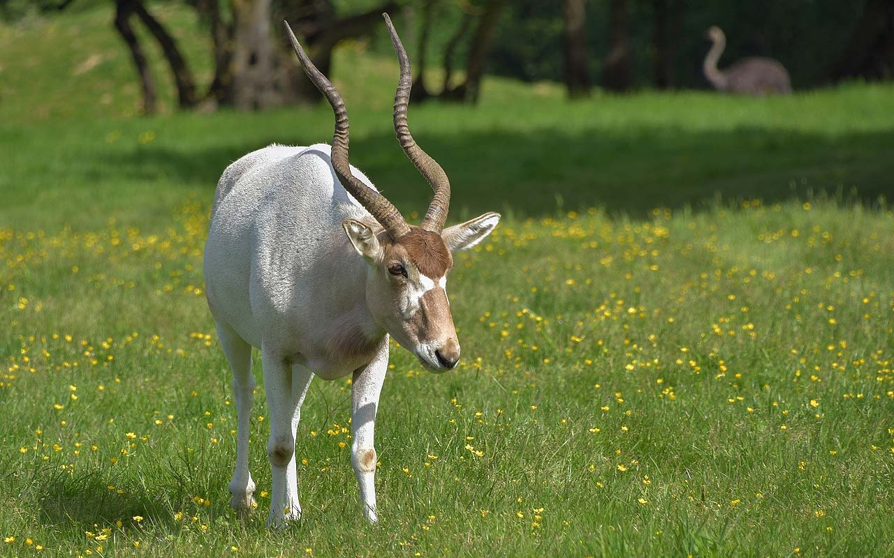 Addax antelope, animals, facts, wild, nature, life, abilities