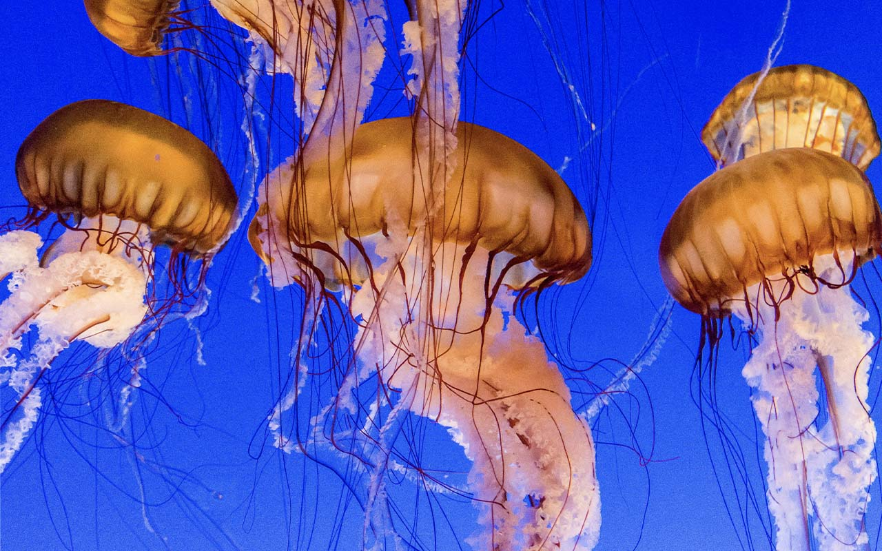 Scarlet Jellyfish, immortal, life, facts, abilities, animals, ocean