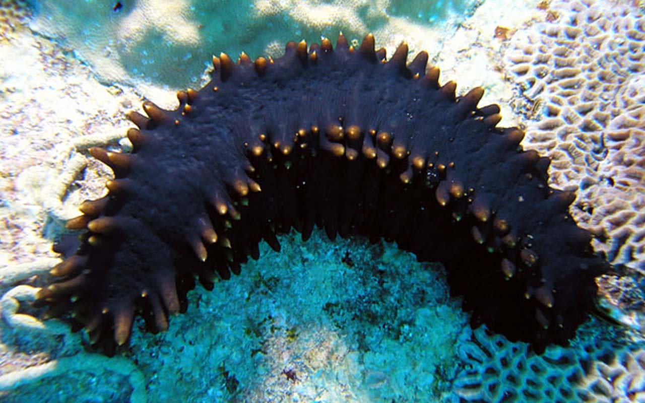 sea cucumber, ocean, life, animals, facts