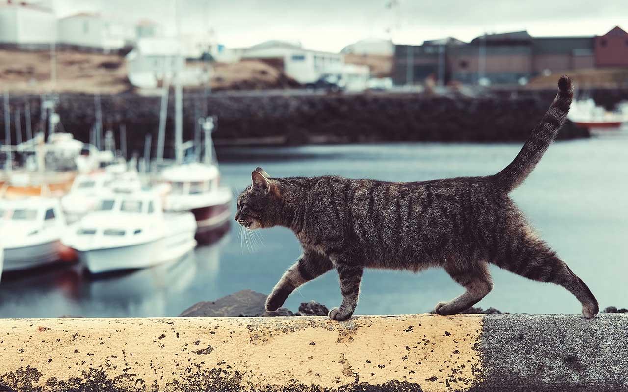 cat, missing, Woosie, Australia, facts, found