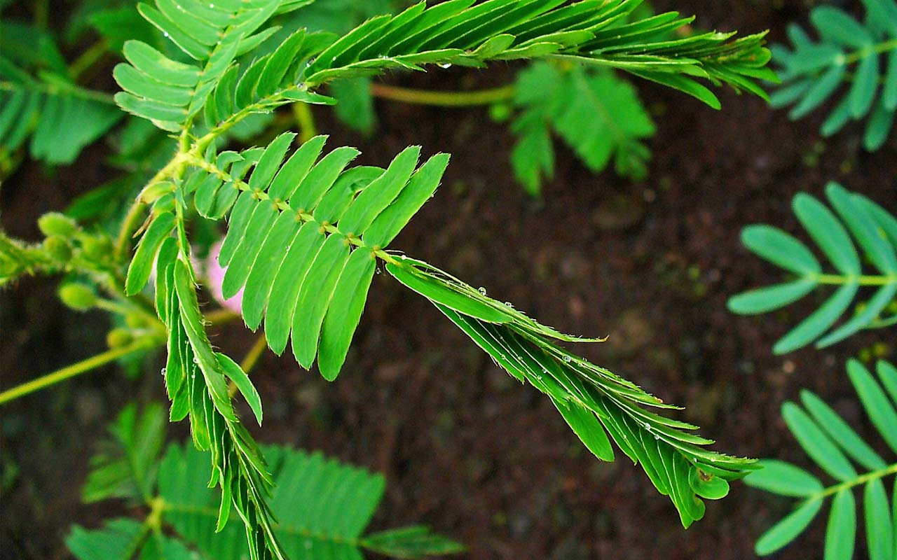 sensitive plant, facts, nature, Earth, soil, incredible, species
