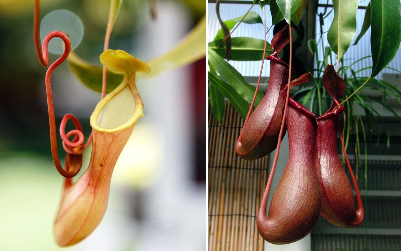 nepenthes, Tropical Pitcher, plant, species, life, facts, people,