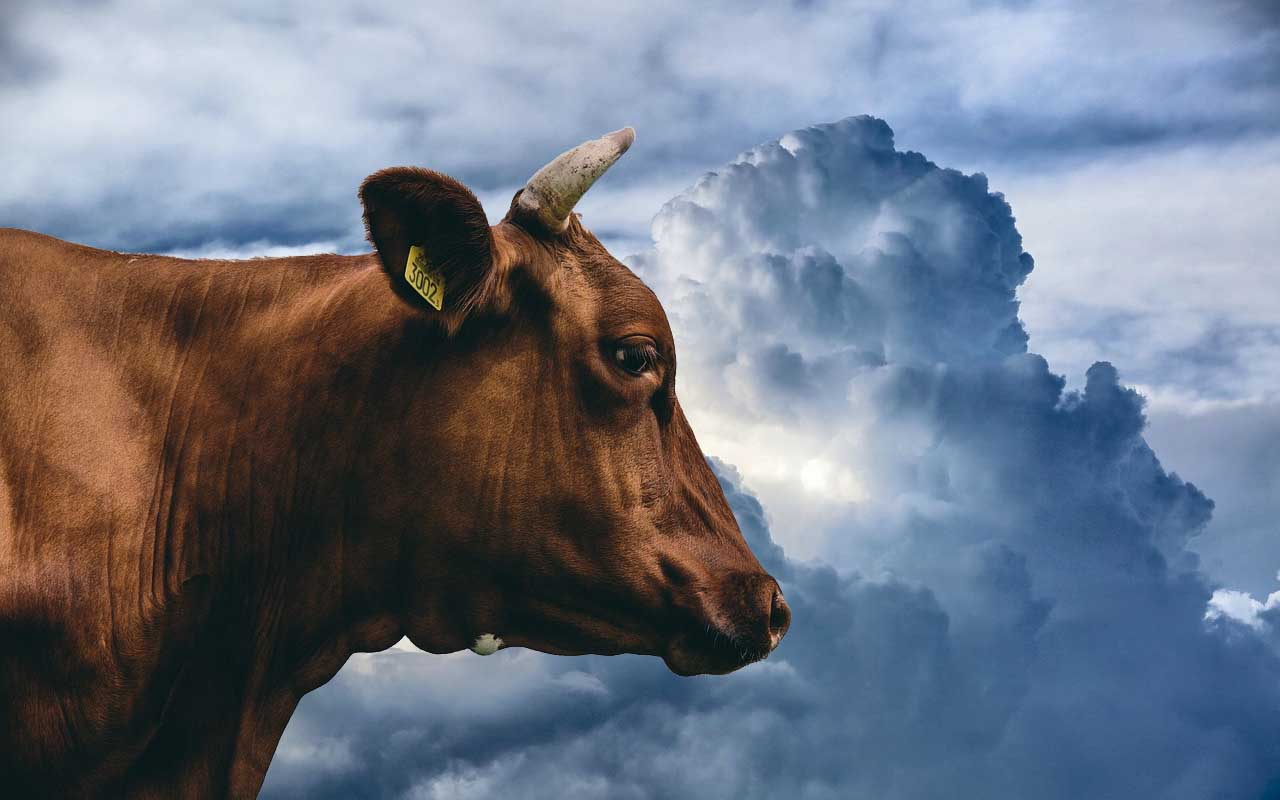 cow, Japan, facts, people, rained, tornadoes