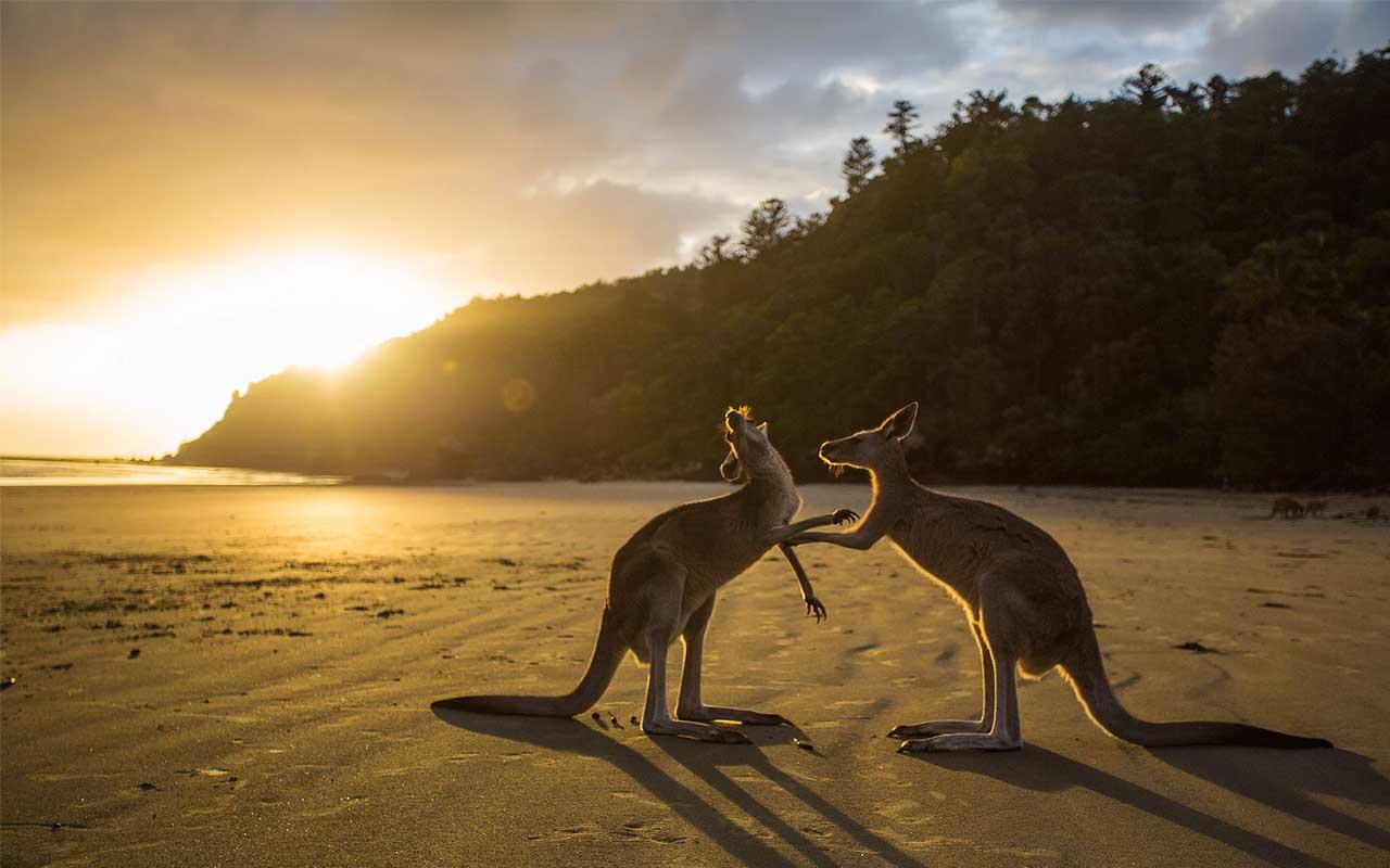 kangaroos, Australia, life, science, entertainment, facts, true