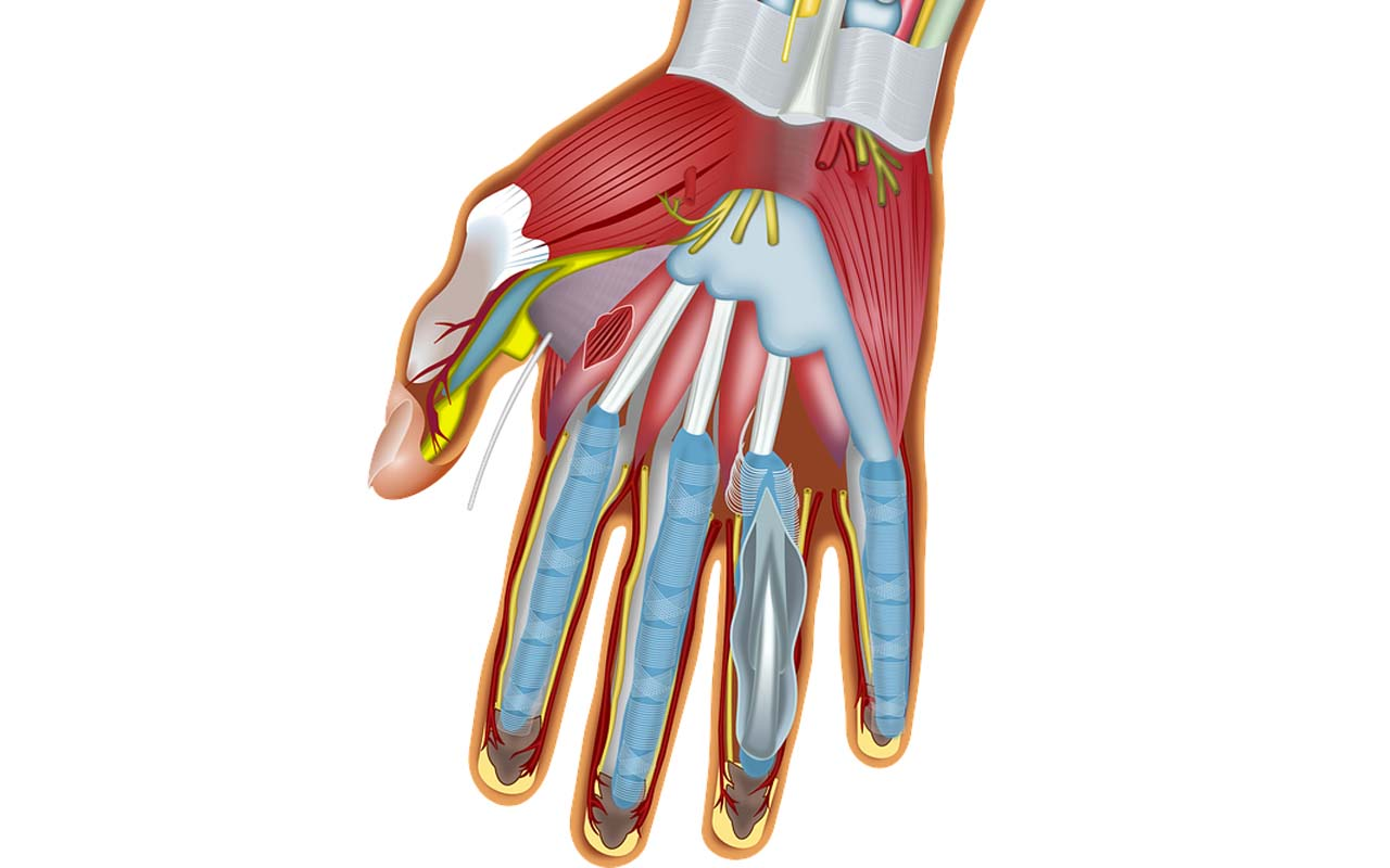 fingers, muscles, facts, health, body, science, guaranteed