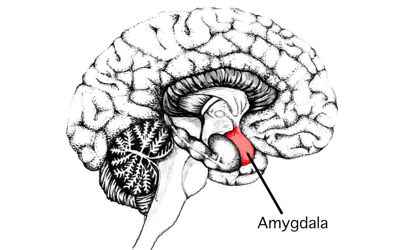 amygdala, psychopaths, people, life, science, facts, medical, signs