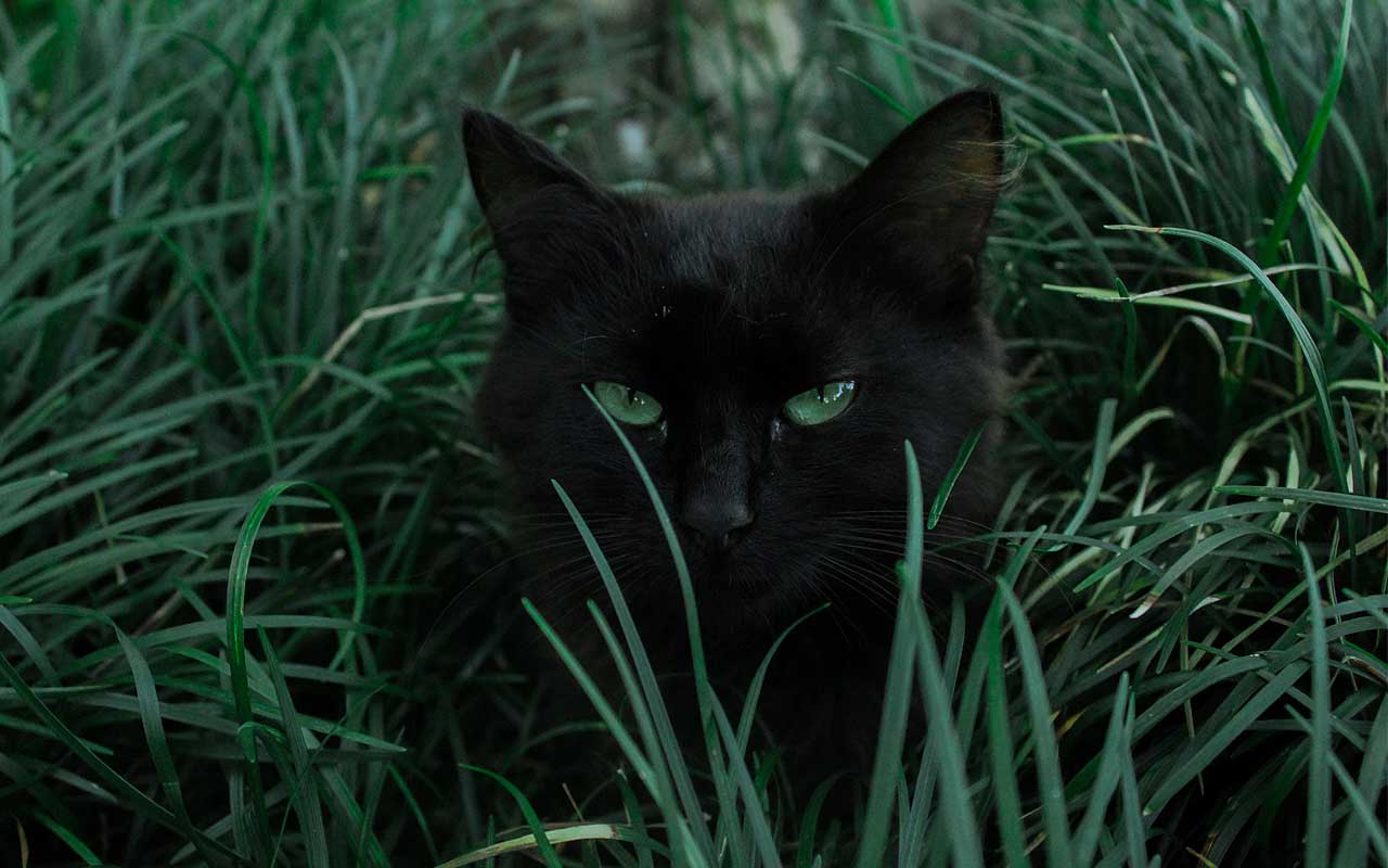 black cat, mice, hunting, facts, life, people, ridiculously, facts