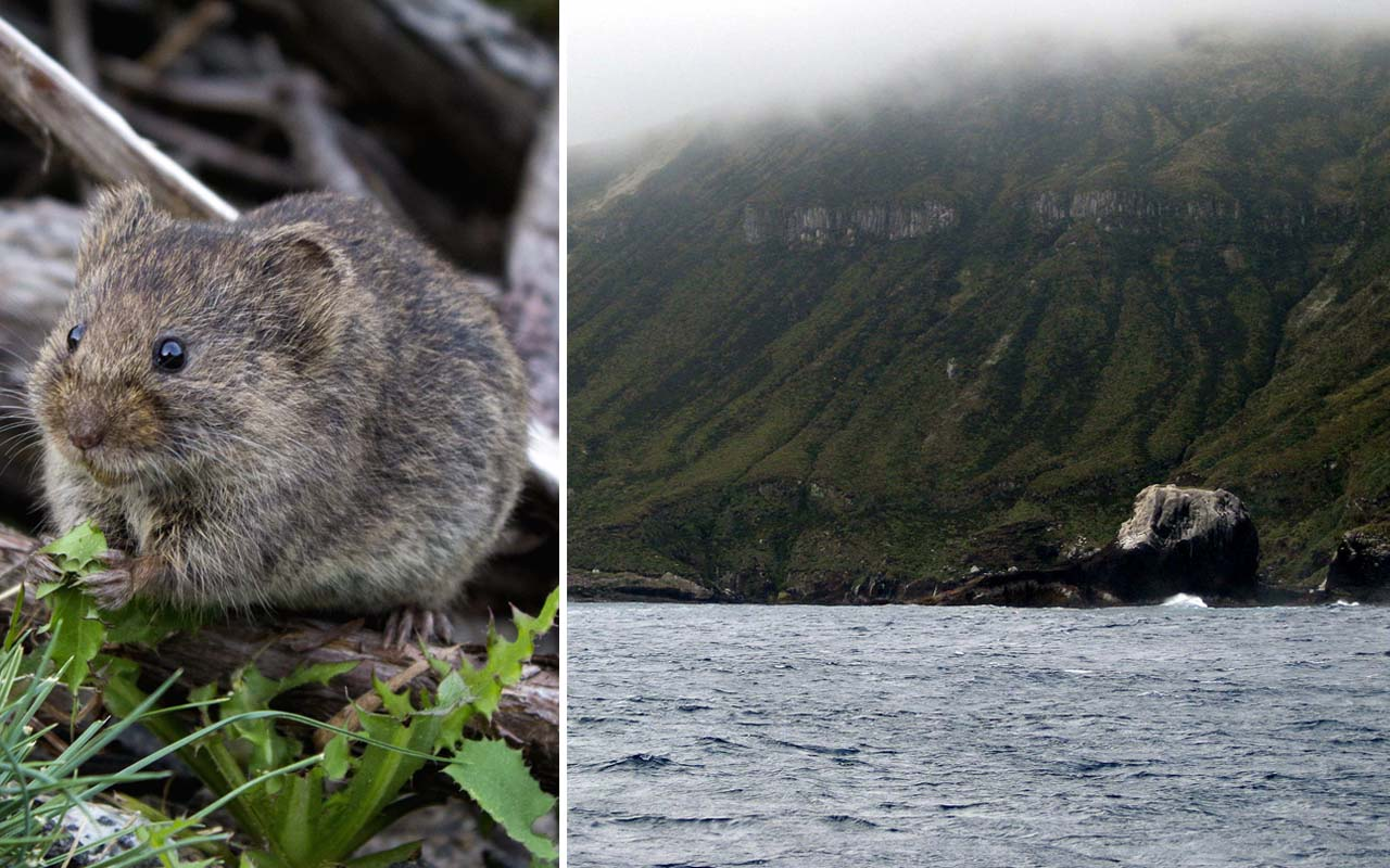 Antipodes Island, New Zealand, mice, mouse, facts, nature, island, people, uninhabited