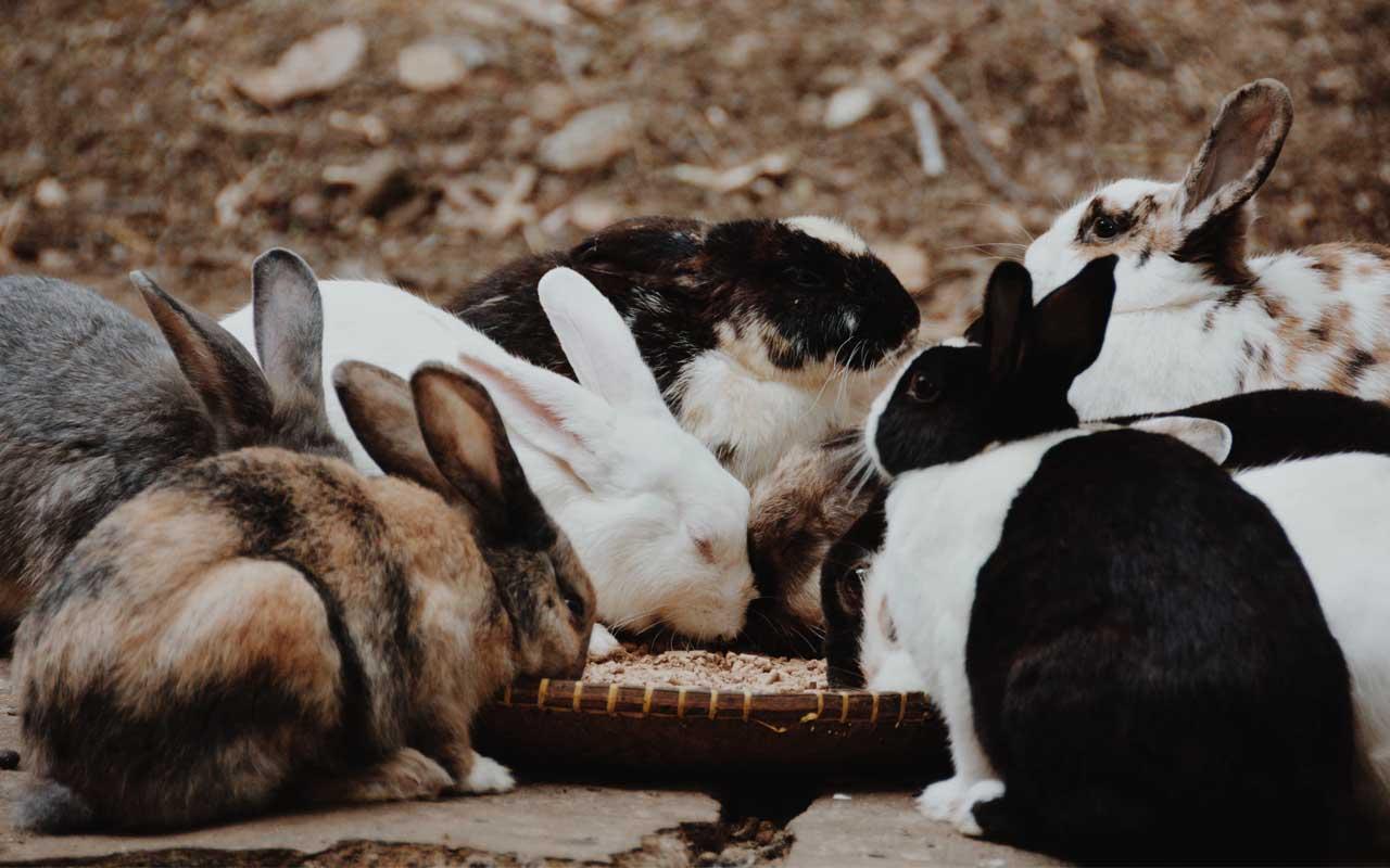 Ōkunoshima Island, Japan, rabbits, uninhabited, facts, science, life, Earth