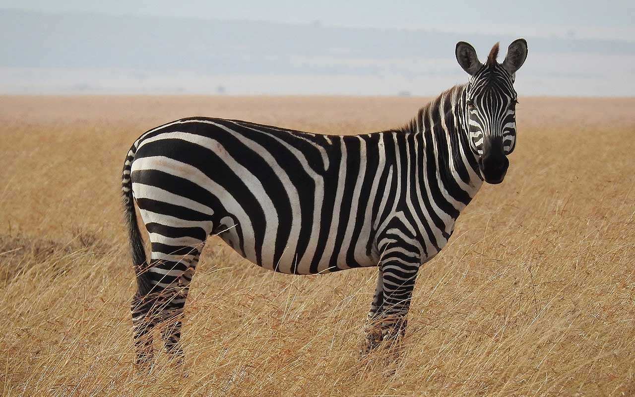 zebras, zebra, animals, facts, nature, life, Earth