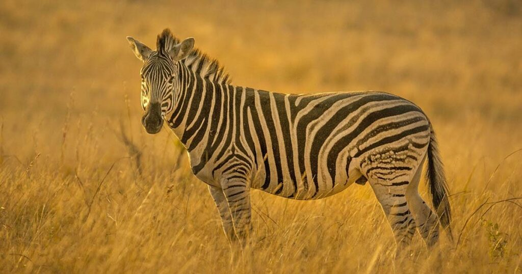 zebra, facts, animals, nature, life
