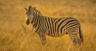 zebra, facts, animals, nature, life