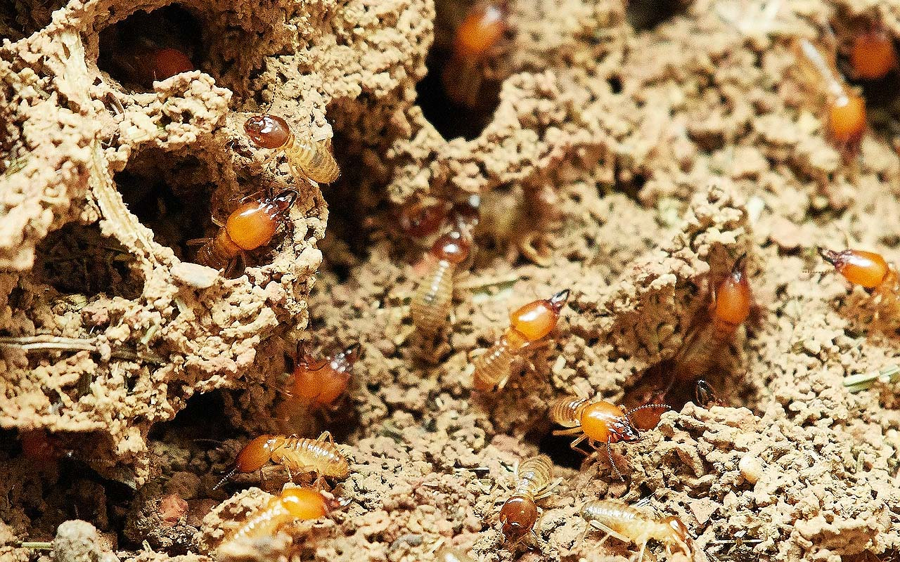 termites, insects, amazing facts, life, people, weird, science